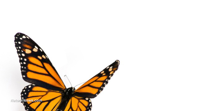 52 Congress members sign letter warning of GMOs killing monarch butterflies