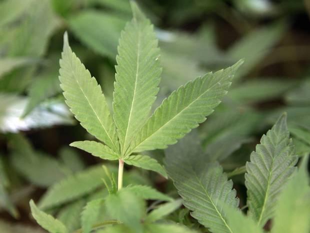 Marijuana can heal broken bones, says new study