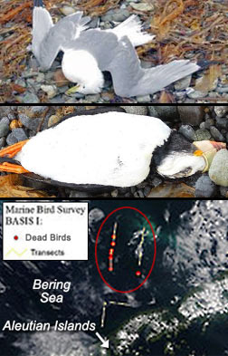 "Die-off of birds all over Alaska beaches, floating in Pacific — ""They seem to be starving"" — Record-breaking spike in rescues, ""such a dramatic increase"" — Deformed and abnormal animals reported"