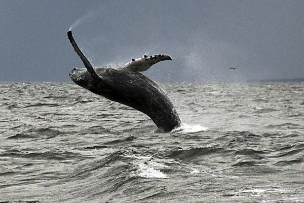 Mysterious absence: Where did Hawaii's humpback whales go?