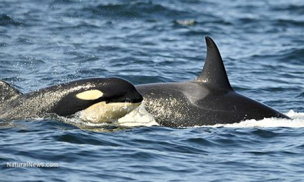 West Coast Orcas Experienced 100% Infant Mortality Rate As Radiation From Fukushima Drifted Across Ocean