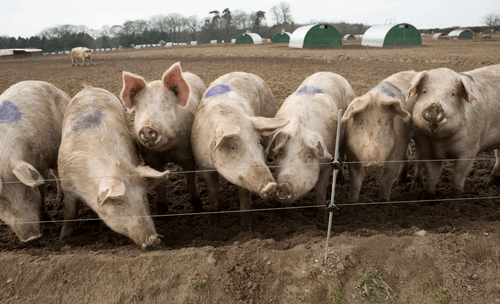 Supply Chain Problems Becoming Critical: UK Farmers To Cull 120,000 Pigs Amid Labor Shortages – Global Transport Systems Collapse Looms